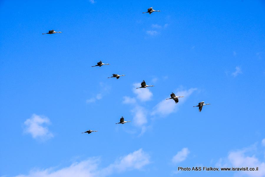 Птицы Израиля, Клин журавлей.
