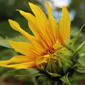 Sunflower by Britta Rogge - Flowers Single Flower ( flower closeup, summer, sunflower, nature photography, flower photography, flower )
