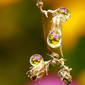 Morning Dews by Agus  Sudarmanto - Nature Up Close Flowers - 2011-2013