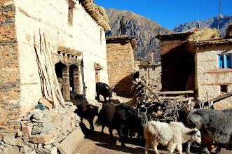 Photo: NEPAL-Yaks in Ringmo village