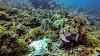 Top. Dive Sites, Kri Island, Raja Ampat, Papua. Broadclub Cuttlefish