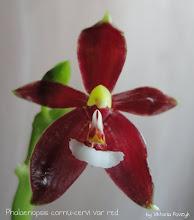 Photo: Phalaenopsis cornu-cervi var Red  SN8012