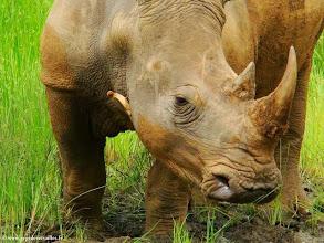 Photo: AFRIQUE DU SUD-Rhinocéros dans la réserve de Hluhluwe Imfolozi Park dans le Zoulouland.
