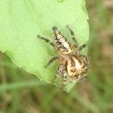 Hyllus Spider