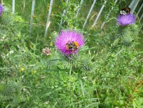 Photo: Biene auf einer Distelblüte am Kursbrink (Hasencleverstra0e).