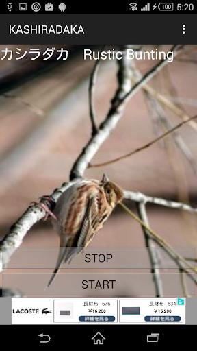 鳥鳴き声カシラダカ