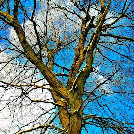 Back yard Tree by Paul S. DeGarmo - Nature Up Close Trees & Bushes ( sky, yard, tree, blue, back,  )