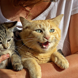 Whos's the chief? by Ciprian Apetrei - Animals - Cats Portraits ( cats, portraits, brittany, funny, pair )