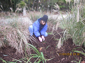 Photo: Lauri making sure the good plants are buried by mulch.