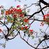 Krushnachuda Flower (Delonix regia)