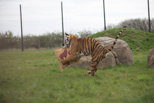 Blast from the Past: Global Tiger Day Event at Hamerton Zoo Park