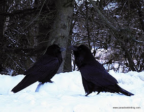 Photo: Ravens scavenging along the roadside in suburban Homer, AK