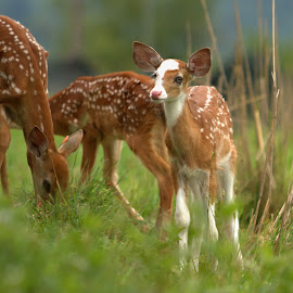 Little Blue Eyes by Kevin Frick - Animals Other Mammals ( west virginia, blue eyes, fawn, deer )