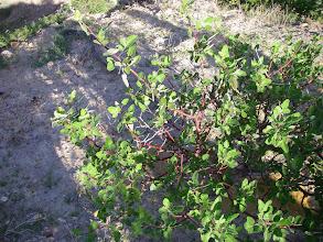 Photo: Red mangrove