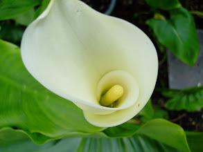 Photo: Zantedeschia aethiopica
