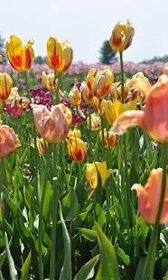 Tulip2 Wallpaper - náhled