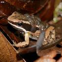 Boquete rocket frog