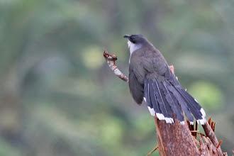 Photo: Chestnut-bellied Cuckoo
