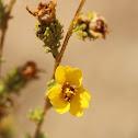 Graceful Tarweed