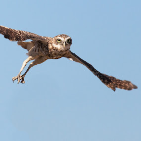 Burrowing owl in flight by Alex Sam - Animals Birds ( bird, owl )