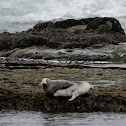 Unknown Spotting ( Two Seals )