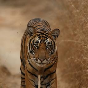 Head on by Saumitra Shukla - Animals Lions, Tigers & Big Cats ( stripes, beautiful, cat, yellow, big cats, india, travel, tiger, wild, big cat, wildlife )