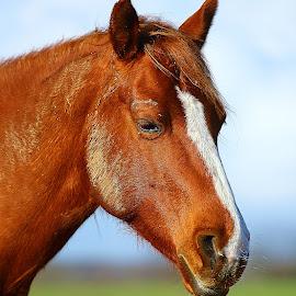 Alezan n00003 by Gérard CHATENET - Animals Horses