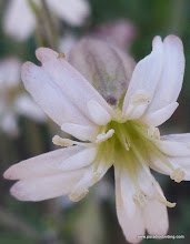 Photo: Catchfly (Silene sp.), with a very tiny little critter crawling around one of the petals. Rooster Rock Burn.
