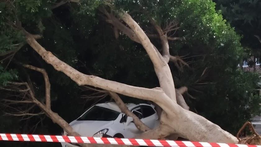 El viento derribó  en la capital este árbol, que cayó sobre un coche.