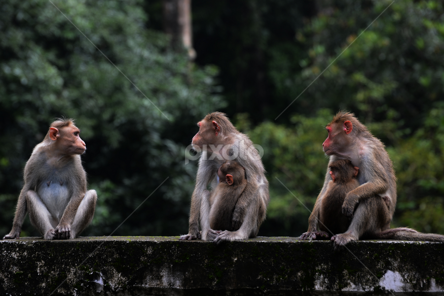 On the watch... guarding the babies by John Anthony - Animals Other Mammals ( mothers, athirapally, look out, three monkeys )