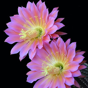 Flying Saucers by Dawn Hoehn Hagler - Flowers Flower Gardens ( pink flower, flying sacuer, arizona, tohono chul park, tucson, pink, cactus flower, garden, flower, cactus,  )