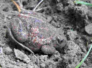 Photo: Knoblauchkröte