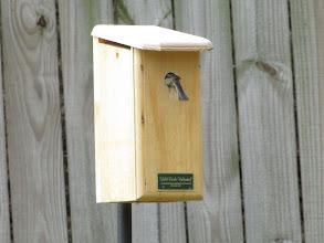 Photo: Carolina Chickadees Nesting April 2013