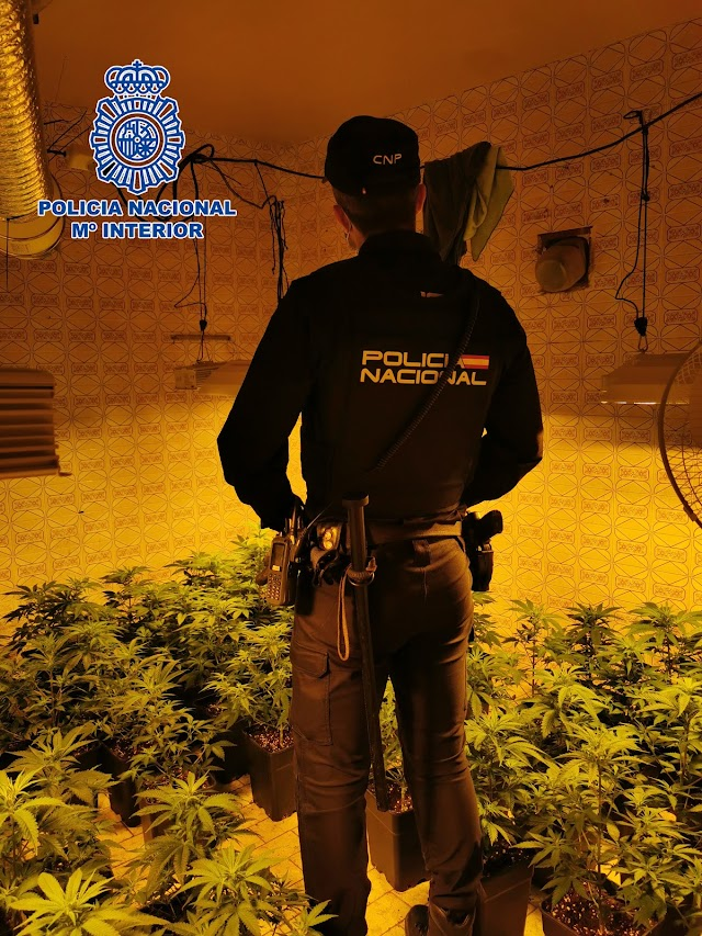 La Policía descubre una plantación con más de 300 plantas de marihuana.