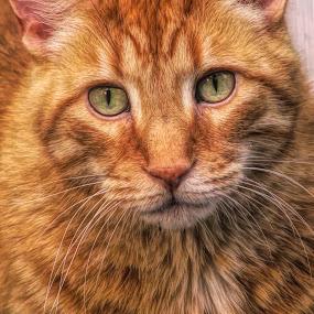 Yeaggy by Sandy Considine - Animals - Cats Portraits ( cat, orange cat, green eyes,  )