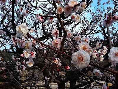 Ciruelos en Dazaifu 太宰府 梅 prune