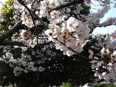 hanami 花見 parque 公園 park sakura 桜 cerezo cherry tree
