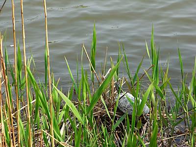 hanami 花見 parque 公園 park tortuga 亀 turtle tortoise