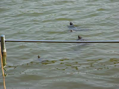 hanami 花見 parque 公園 park tortoises turtles 亀 tortugas
