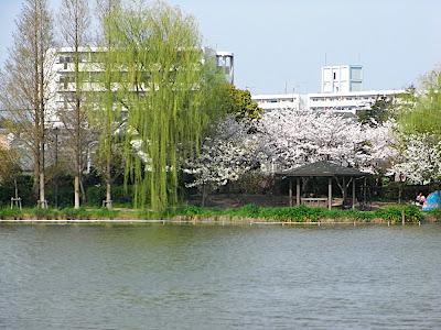 hanami 花見 parque 公園 park
