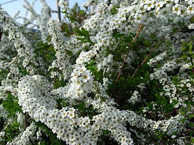 hanami 花見 parque 公園 park flores flowers 花