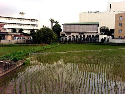 campo de arroz 田んぼ rice field