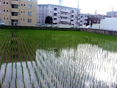 campo de arroz pato 田んぼ 鴨 カモ rice field duck