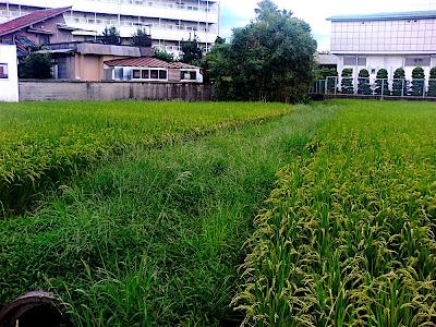 Arroz crecidito 田んぼの稲が大きくなった