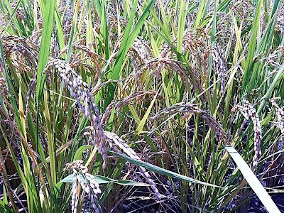 Espigas de arroz 稲 イネ rice ear