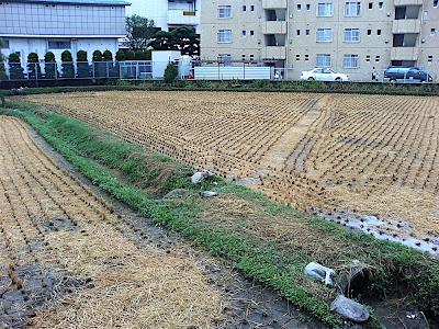 Cosecha campo arroz 田んぼ 稲刈り Rice Field Harvest