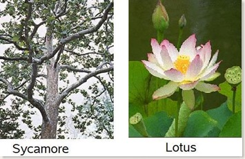 Platanus and Lotus