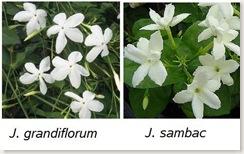 Combined jasmine