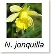 jonquilla