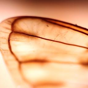 ID: Wing of Fly by Shibalik Choudhury - Abstract Macro ( small, macro, veins, fly, closeup, nature, insect, abstract, wing, wild )